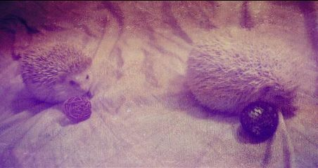 cute love photography pets & animals hedgies