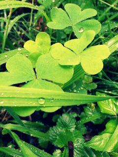 clover green grass rain drop
