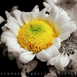 black & white flower color splash photography nature